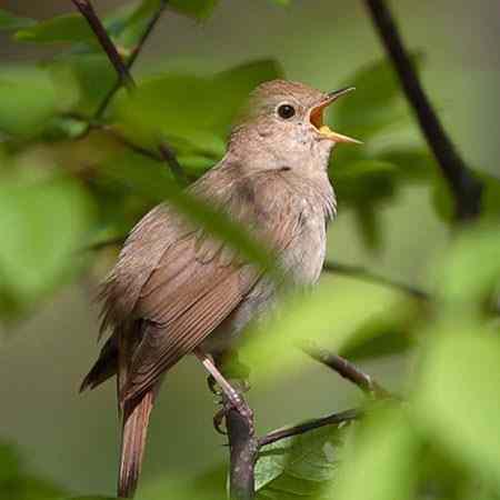 دانلود صدای طبیعت و پرندگان